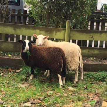 Die neuen Schafe sind da!